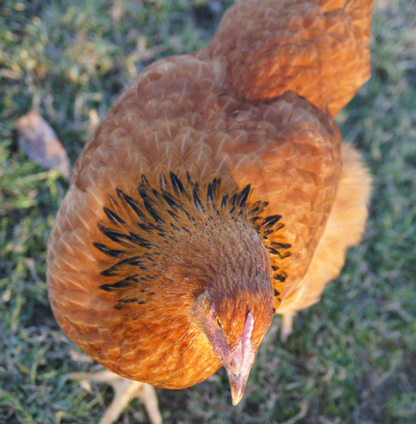 New Hampshire Pullet - 6 months old