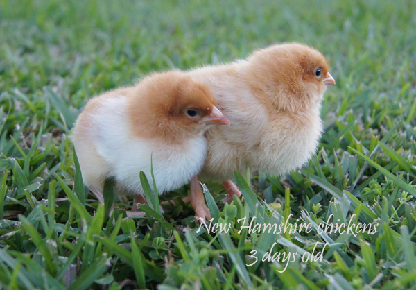 New Hampshire Baby Chickens