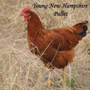 New Hampshire Pullet